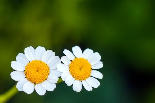 Bouchent les petites fleurs de marguerite blanche