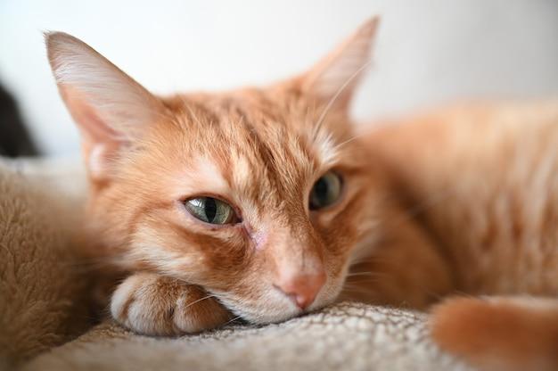 Bouchent portrait de beau chat couché paresseux au gingembre
