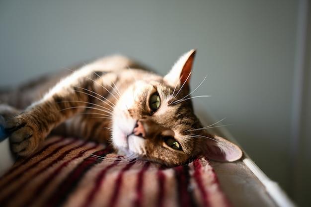 Bouchent portrait de beau chat couché paresseux rayé aux yeux verts