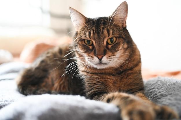 Bouchent portrait de beau chat couché à rayures aux yeux jaunes