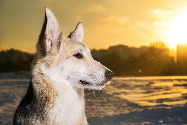 Bouchent le portrait d'un chien bâtard assis sur la neige en hiver au coucher du soleil