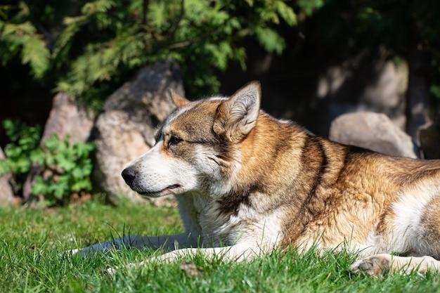 Bouchent le portrait d'un chien husky couché sur l'herbe.