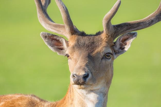 Bouchent portrait de jeune cerf cornu avec vert