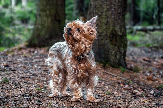 Bouchent le portrait de joli yorkshire terrier
