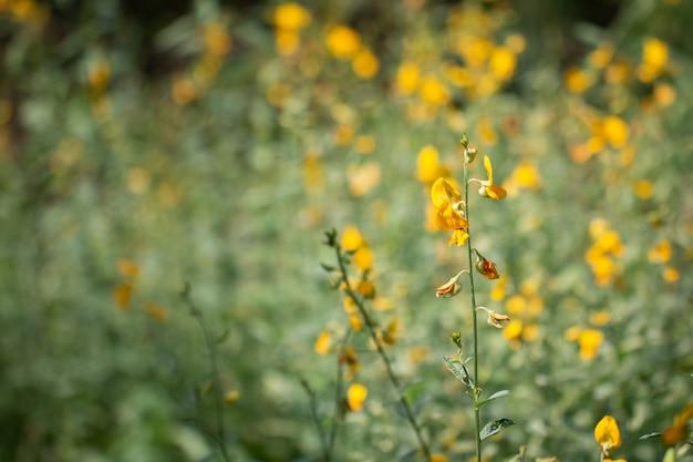 Bouchent sunhemp fleur dans le jardin