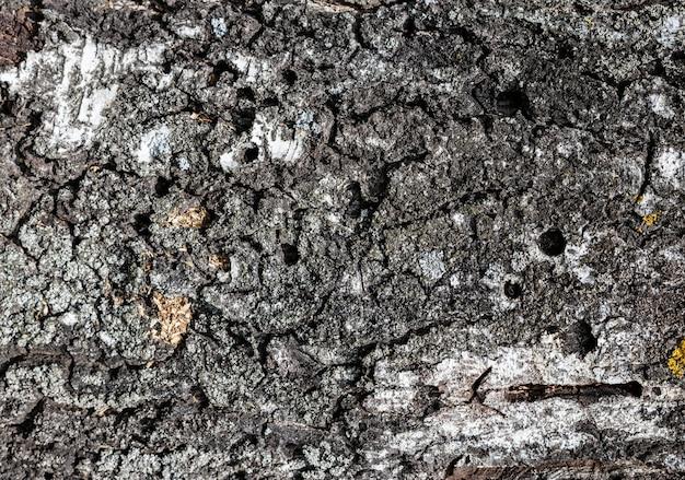 Bouchent la texture de l'écorce d'un bouleau