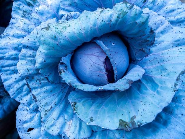 Bouchent la texture de la plante de chou bleu d'hiver frais avec des gouttes de rosée. abstrait végétal naturel.