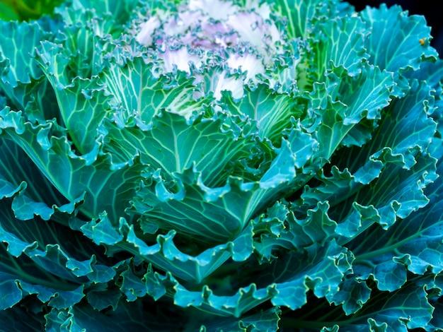 Bouchent la texture de la plante de chou vert d'hiver frais avec des gouttes de rosée. abstrait végétal naturel.