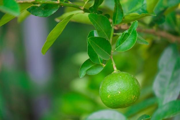 Bouchent tilleul avec des fruits dans la nature