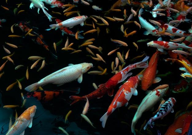 Bouchent la vue de dessus des poissons koi sur fond noir
