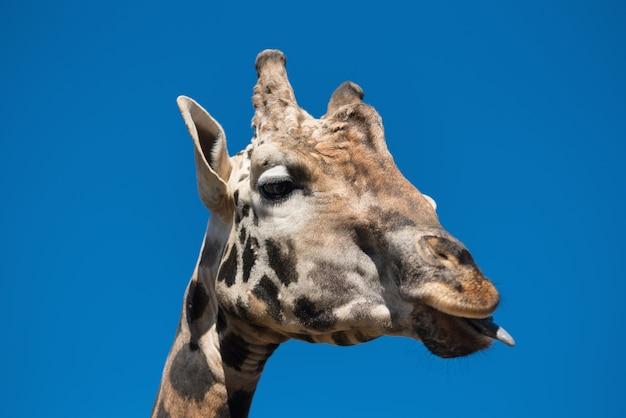 Bouchent la vue d'une girafe