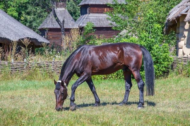 Bouchent la vue latérale d'un beau cheval brun mangeant de l'herbe sur un pré vert en été