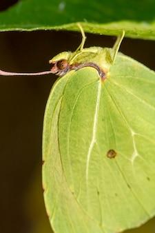 Bouchent la vue sur le magnifique insecte papillon gonepteryx cleopatra.