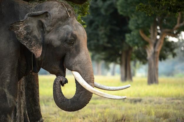 Bouchent la vue de la tête de l'éléphant asiatique photographié dans le cadre de la jungle de la thaïlande.