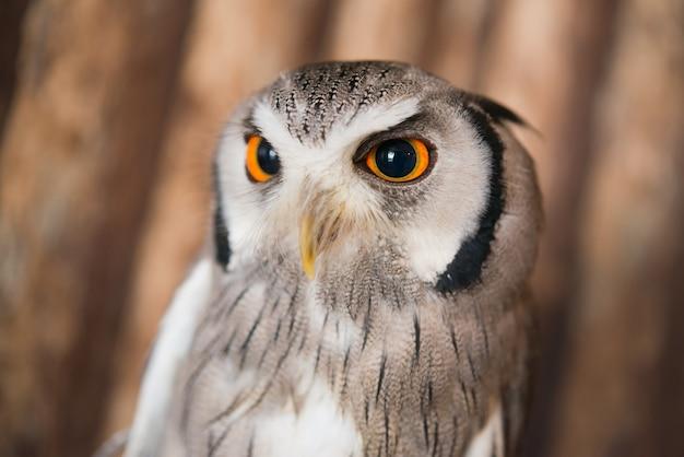 Bouchent les yeux de chouette scops face blanche avec fond en bois