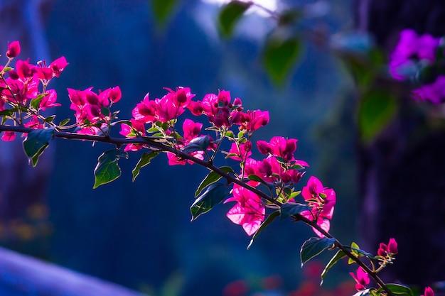 Bougainvillea est un genre de buissons et d'arbres de vignes ornementales épineuses de la famille des nyctaginaceae