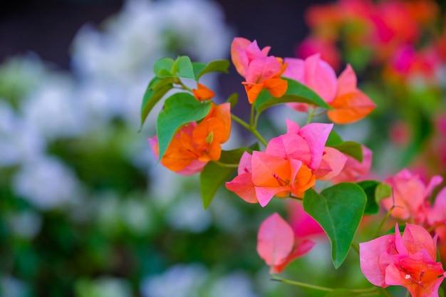 Bougainvilliers fleurs fleurs colorées dans le jardin.
