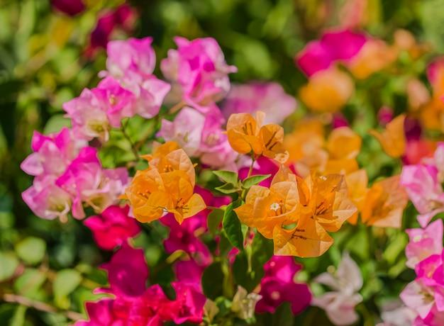 Bougainvilliers multicolores s'épanouissant pour le fond