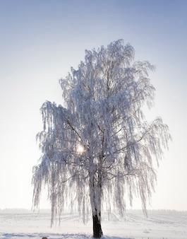 Bouleau arbre nu en hiver, les branches sont complètement couvertes de neige et de gel après le gel, un arbre