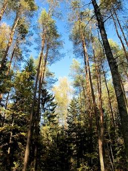 Bouleau doré en journée ensoleillée dans la forêt d'automne