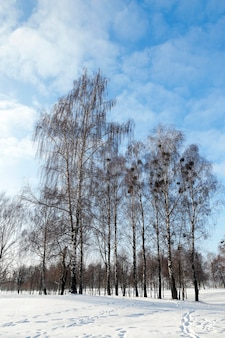 Bouleau en hiver - photographié en gros plan des bouleaux nus en hiver, ciel bleu, cime des arbres,