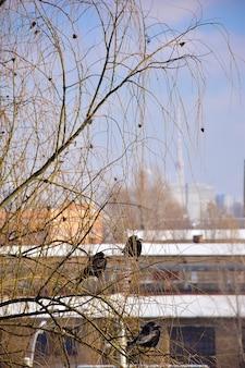 Sur un bouleau, plusieurs corbeaux noirs, éclairés par le soleil, sont assis sur des branches. sur fond de maisons de ville dans la neige et le ciel bleu