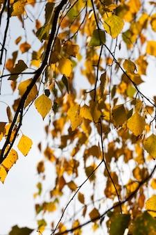 Bouleaux à l'automne