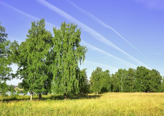 Bouleaux dans le domaine en été le bord d'un pré vert sous un ciel bleu du matin