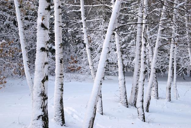 Bouleaux dans la neige d'hiver