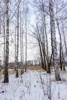 Bouleaux dans un parc enneigé