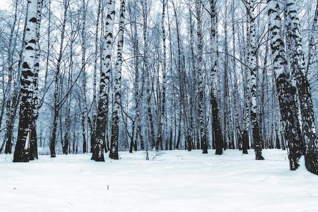 Bouleaux dans le parc d'hiver