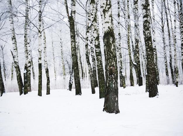 Bouleaux d'hiver