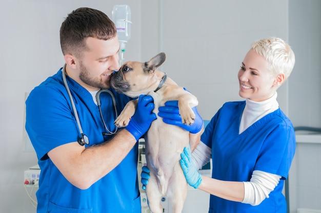 Bouledogue français dans une clinique vétérinaire. deux médecins l'examinent. concept de médecine vétérinaire. chiens de race