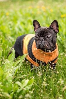 Bouledogue français herbe du champ dans un pull
