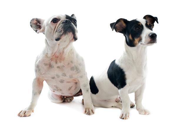 Bouledogue français et jack russel terrier sur blanc