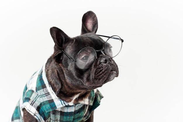 Bouledogue français à lunettes et chemise, très intelligent et intelligent