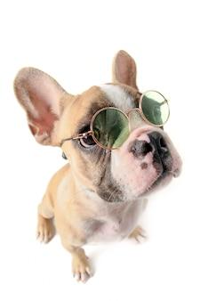 Bouledogue français, lunettes soleil, isolé