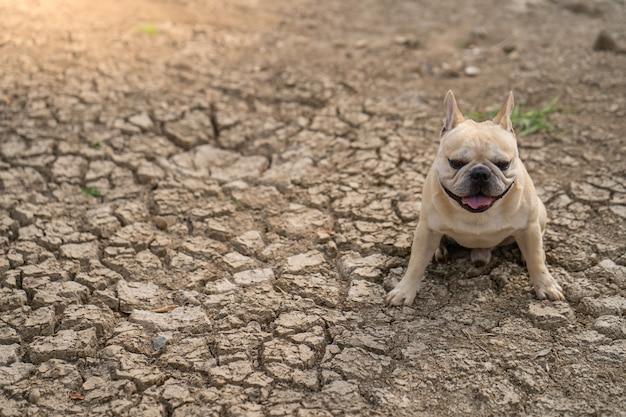 Bouledogue français mignon assis sur un sol fissuré sec à l'étang en été.