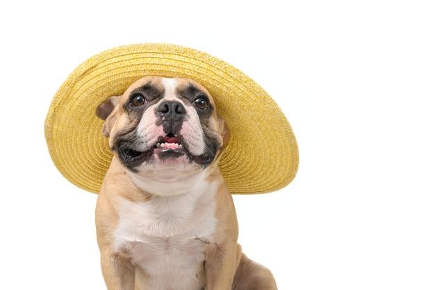 Le bouledogue français mignon porte un chapeau d'été isolé sur fond blanc, voyage sur le concept de la saison estivale
