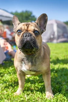 Bouledogue français race à poil court de chiens de type mastiff close-up