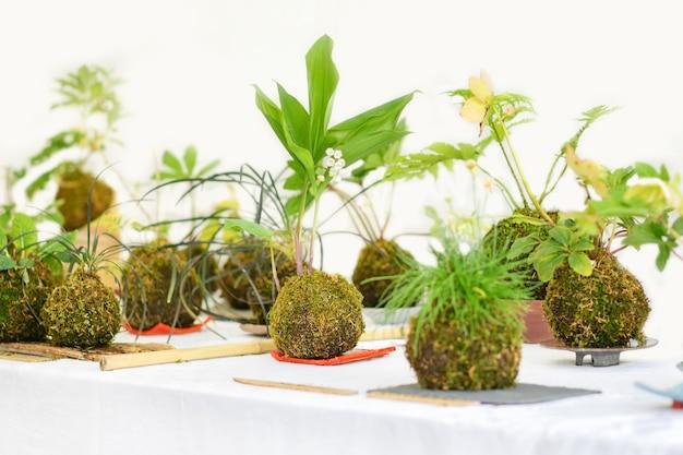 Boules de kokedama avec quelques plantes sur fond blanc