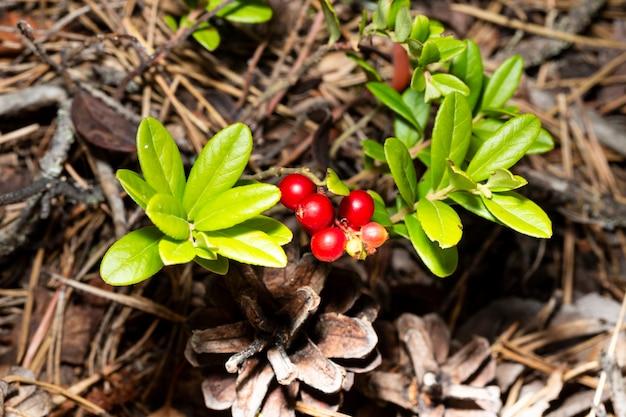 Bouquet d'airelles rouges mûres sauvages de forêt sur le buisson