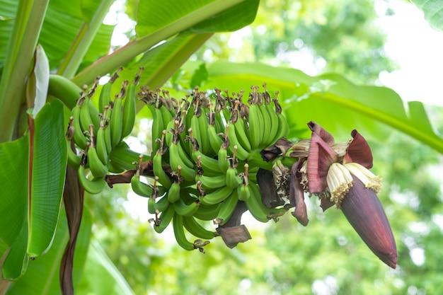 Bouquet de bananes dans le jardin.