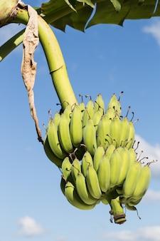 Bouquet de bananes immatures sur ciel bleu