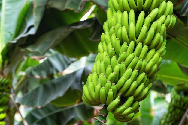 Bouquet de bananes à la plantation de bananes