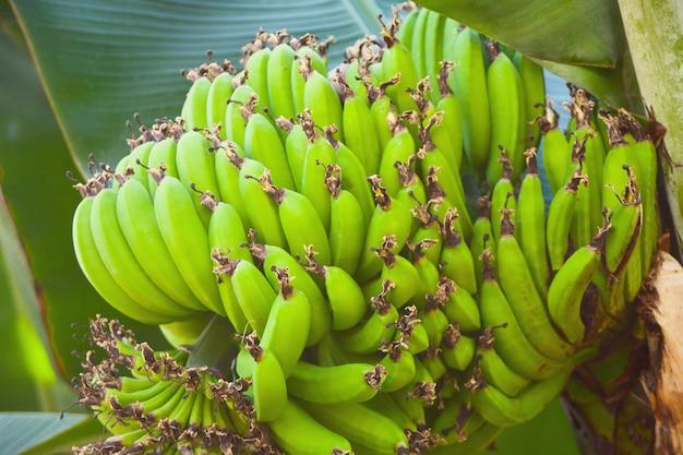 Bouquet de bananes vertes dans le jardin botanique.