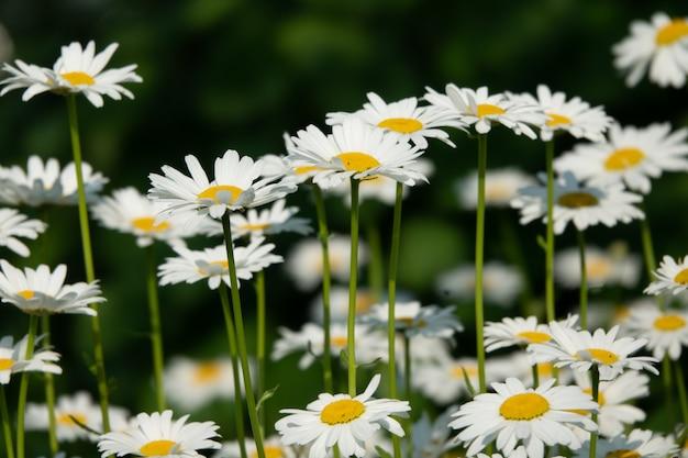 Bouquet de camomille au soleil. fond mignon naturel.