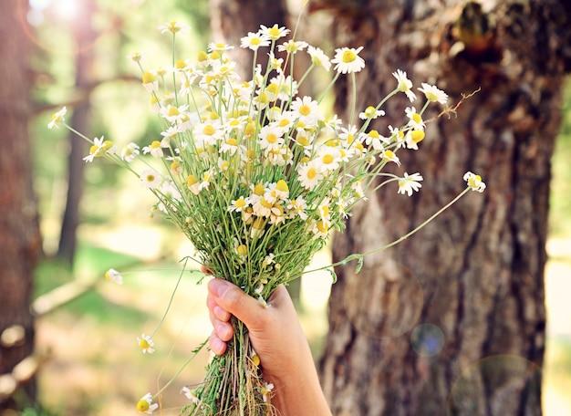 Bouquet de camomille des champs dans une main féminine