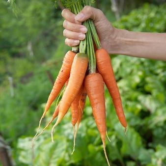 Bouquet de carottes dans une main avec un fond doux