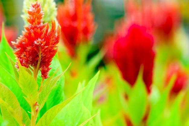 Le bouquet de celosia fleurit dans un jardin en été